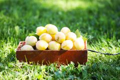 Fresh yellow plums. Ripe fruits in a wooden box on green summer grass in a garden. Fresh yellow plums. Ripe fruits in a wooden box on green summer grass in a stock images