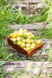 Fresh yellow plums. Ripe fruits in a wooden box on green summer grass in a garden. stock photo