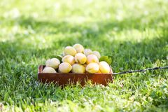 Fresh yellow plums. Ripe fruits in a wooden box on green summer grass in a garden. Fresh yellow plums. Ripe fruits in a wooden box on green summer grass in a stock image
