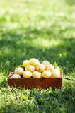 Fresh yellow plums. Ripe fruits in a wooden box on green summer grass in a garden.  royalty free stock photo