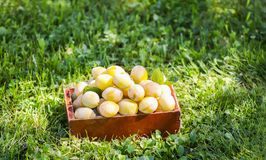 Fresh yellow plums. Ripe fruits in a box on green summer grass in a garden. Fresh yellow plums. Ripe fruits in a wooden box on green summer grass in a garden stock photos
