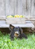 Fresh yellow plums. Ripe fruits in a wooden box on rough boards background. A black dog guards the harvest stock photography