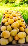 Fresh yellow plums. Ripe fruits in a wooden box in summer garden royalty free stock images