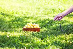 Fresh yellow plums. Ripe fruits in a wooden small handcart on green grass background royalty free stock image