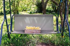 Fresh yellow plums. Ripe sweet fruits in a wooden box on garden swing in sunny summer day stock photography