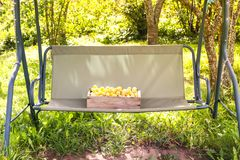 Fresh yellow plums. Ripe sweet fruits in a wooden box on garden swing in sunny summer day stock photo