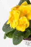 Fresh yellow primrose Stock Image