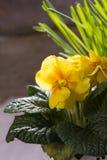 Fresh yellow primrose Stock Photos