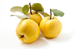 Fresh yellow quinces. Arrangement of three fresh yellow quinces Stock Images
