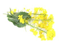 Fresh yellow rape blossoms Royalty Free Stock Images
