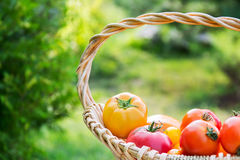 Fresh yellow and red organic tomatoes in basket. Outdoors close up Stock Photography