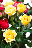 Fresh yellow and red roses in bouquet Royalty Free Stock Photo