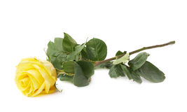 Fresh yellow rose isolated Royalty Free Stock Photography