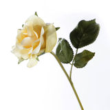 Fresh yellow rose on a white background Stock Image