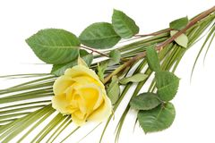 Fresh yellow roses Stock Photography