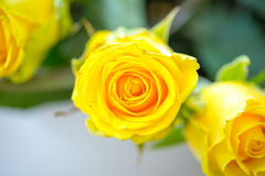 Fresh yellow roses , flower bright background, close-up Stock Image