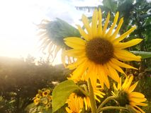 Fresh yellow sunflowers on the mountain is blooming royalty free stock photography