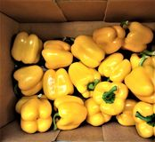 fresh yellow sweet pepper are vitamin-rich, a breakfast, regetarianets royalty free illustration