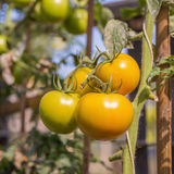 Fresh yellow tomatoes on the plant Royalty Free Stock Image