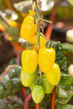 Fresh yellow tomatoes on the plant Stock Photo