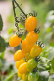 Fresh yellow tomatoes on the plant Royalty Free Stock Photos