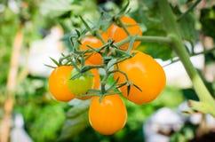 Fresh yellow tomatoes Royalty Free Stock Photo