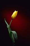 Fresh yellow tulip in studio Royalty Free Stock Image