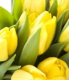 Fresh Yellow Tulips Royalty Free Stock Image