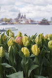 Fresh yellow tulips in Amsterdam with river. And historical buildings as background Royalty Free Stock Image