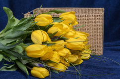 Fresh yellow tulips. And basket. Gift for the holiday stock photography