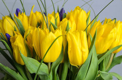 Fresh yellow tulips Stock Photos