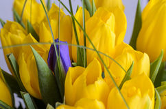 Fresh yellow tulips. Gift for the holiday stock photo