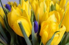 Fresh yellow tulips.  stock images