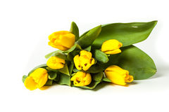Fresh yellow tulips isolated on white background. Bunch of fresh yellow tulips isolated on white background Royalty Free Stock Photo