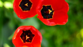 Fresh red tulips goes out of focus. stock video footage
