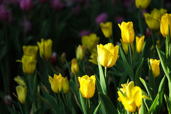 Fresh yellow Tulips. With natural sun light Royalty Free Stock Image