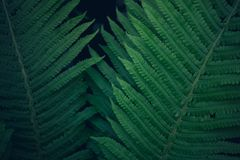 Fresh young bright dark green fern, natural background texture royalty free stock images