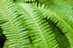 Fresh young bright green fern Stock Photography