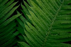 Fresh young bright green fern, natural background texture royalty free stock image