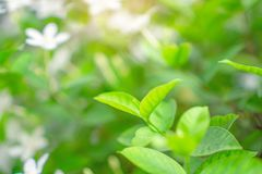 Fresh young bud soft green leaves blossom on natural greenery plant and white flower blurred background under sunlight in garden. Abstract image from nature royalty free stock images