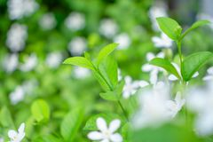 Fresh young bud soft green leaves blossom on natural greenery plant and white flower blurred background under sunlight in garden. Abstract image from nature royalty free stock photo