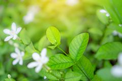 Fresh young bud soft green leaves blossom on natural greenery plant and white flower blurred background under sunlight in garden. Abstract image from nature royalty free stock image
