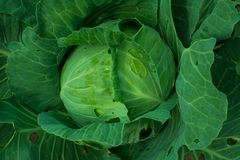 Cabbage head growing on the vegetable bed stock images