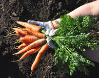 Fresh Young Carrot On Hands Royalty Free Stock Photos