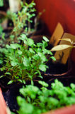 Fresh young cilantro. Coriandrum sativum (cilantro) young plants in a biodegradable pot royalty free stock image