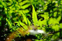 Fresh young ferns enjoy sunlight Royalty Free Stock Image
