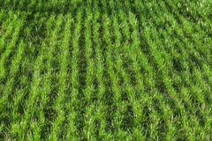 Fresh young grass grows in a rows Royalty Free Stock Photo