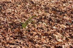 Fresh young grass leaves shooting from among dry leaves. Young fresh grass shooting from among dry brown leaves on a sunny springtime day Royalty Free Stock Photography