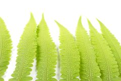 Fresh Young Green Asian Rain forest Fern leaves. Stock Images
