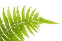 Fresh Young Green Asian Rain forest Fern leaves. Stock Photo